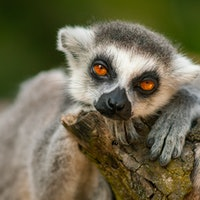 Lemur study finds first evidence of a human-like mating trait