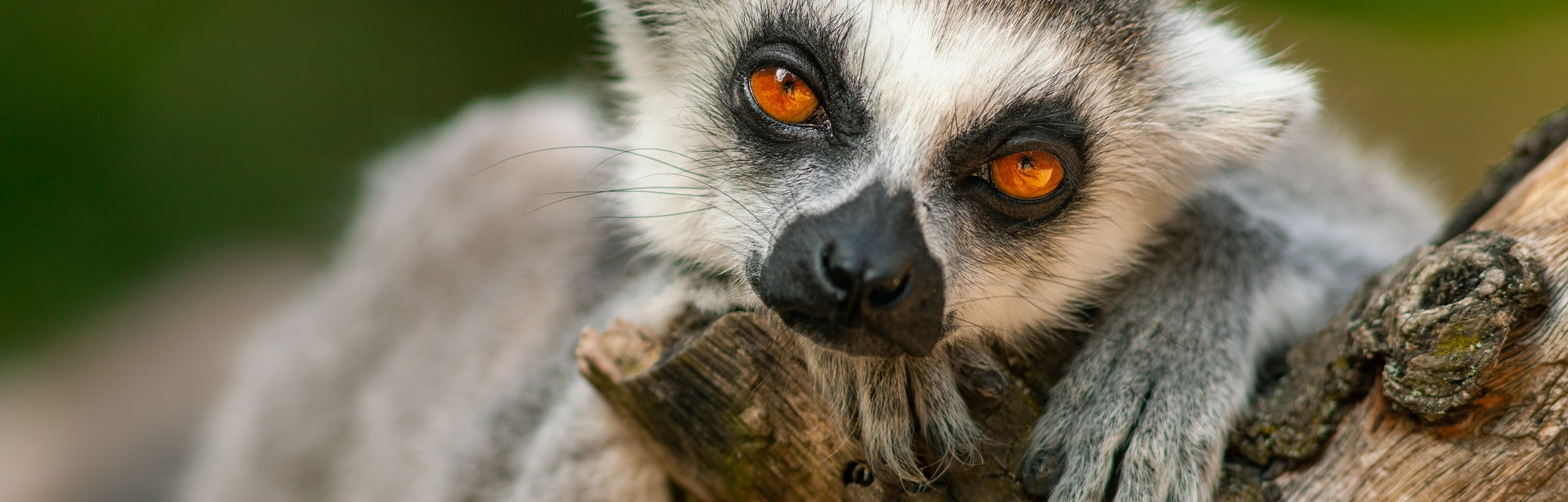 Beautiful close-up portrait of a cute ring-tailed lemur in its natural habitat