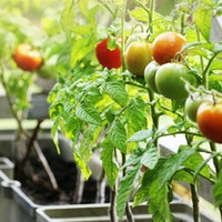 Start a vegetable garden for your mental health: Experts say the activity has history behind it