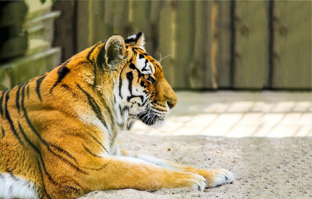 Tiger profile view. Tiger portrait. Lying tiger profile. Tiger poster