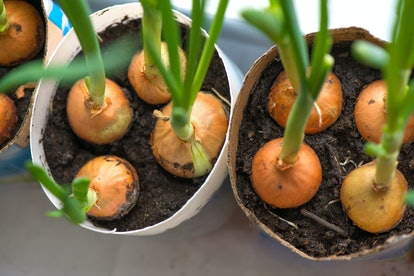 Sprouted onions on a windowsill in a diy pots made from paper milk bottles. Fresh herbs, green spring onions in kitchen in winter at home. Indoor gardening.
