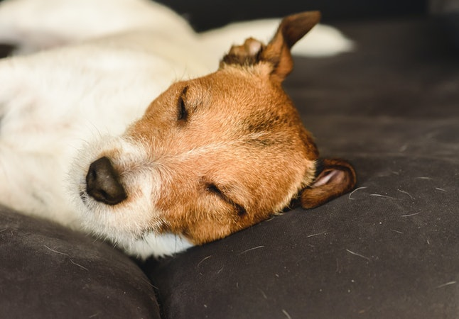Shedding dog sleeping on dirty couch covered with molted pet hair