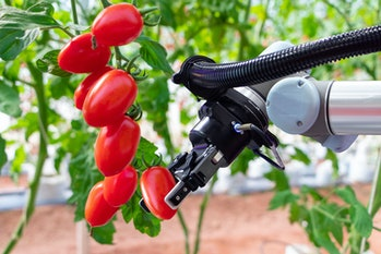 Modern tomato greenhouse adopts the technology of robotic industry to apply for used in fruit plots to work and help harvest on concept of Smart Farming 4.0