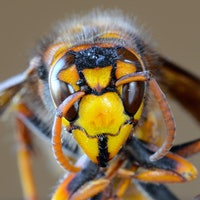 What are Asian giant hornets, and are they really dangerous? 5 questions answered