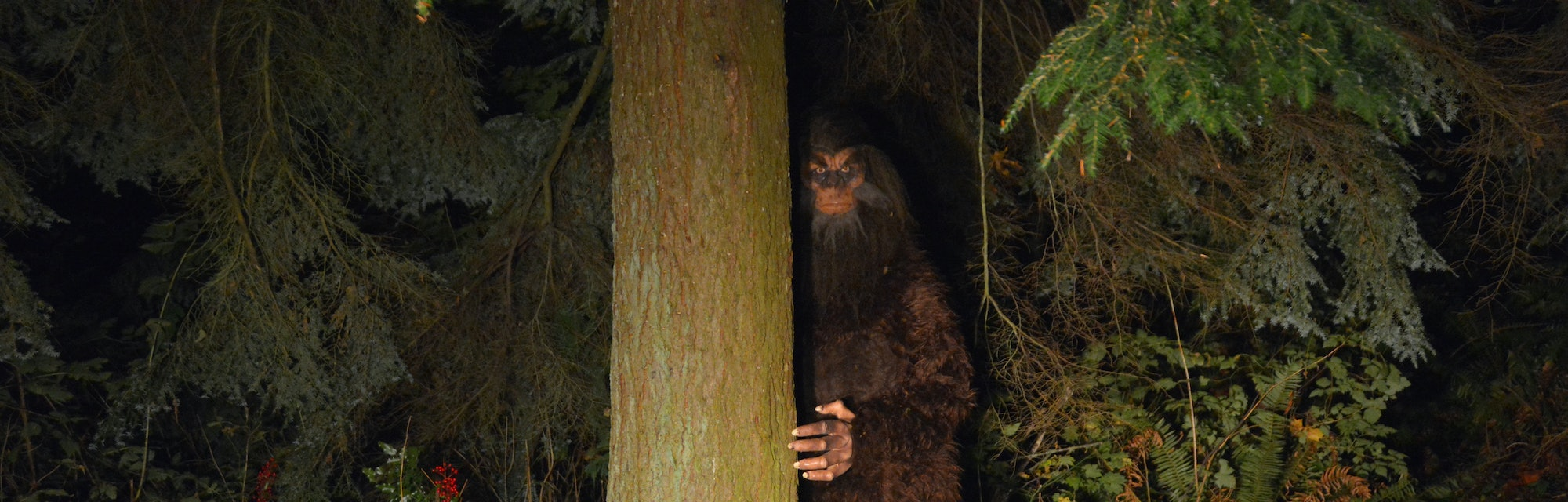 Sasquatch looks out from behind a tree in the forest.