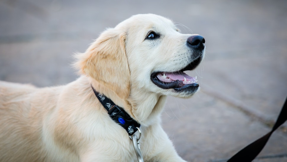 Cute Golden Retriever Dog lying down with lead and collar