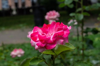 Pinkk rosee in a park AM