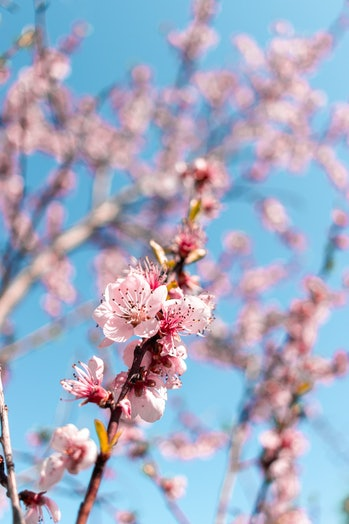 Pink spring blosom with bookeh background and blue sky AM
