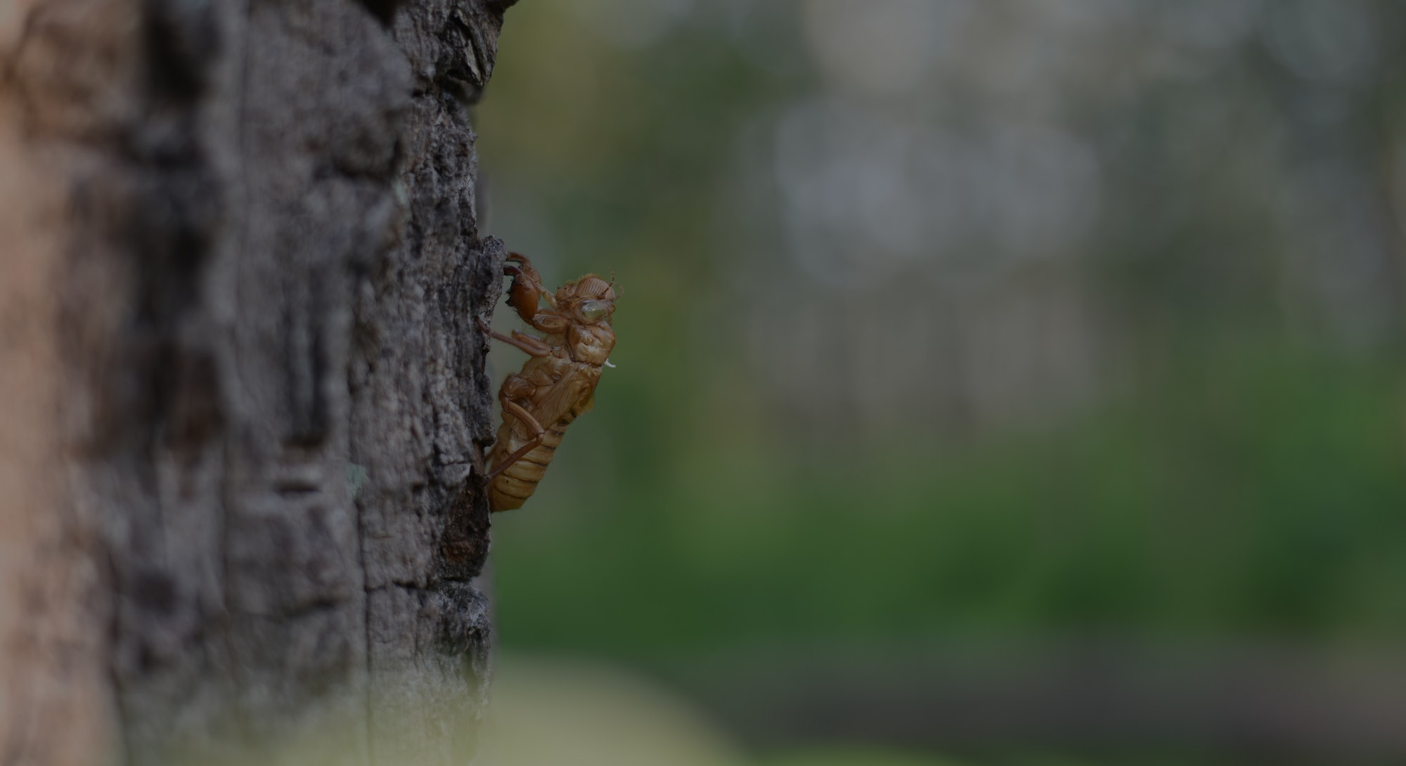 Cicadas molting on the tree. Cicada stains, Beautiful nature scene Insect molting cicadas in nature. concept Cicadas metamorphosis grow up to adult insect.