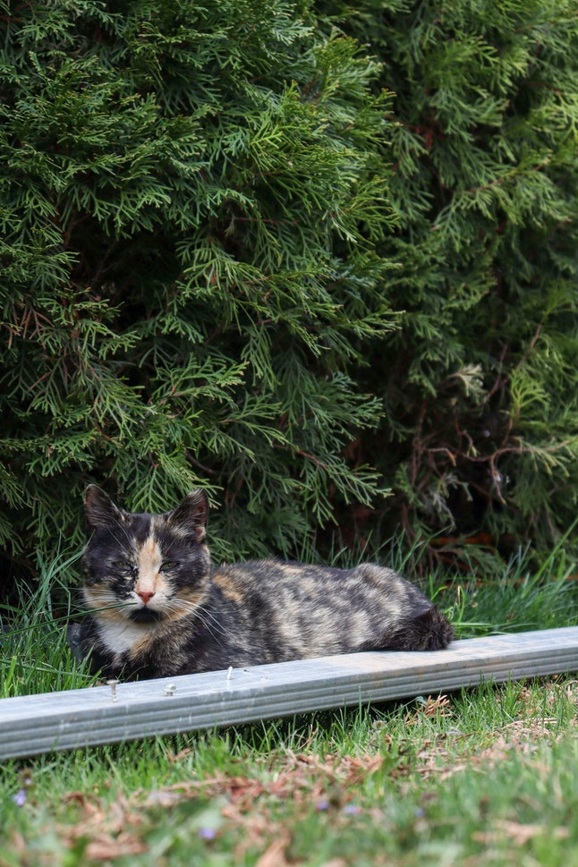 Brown pregnant cat lajing on gras AM