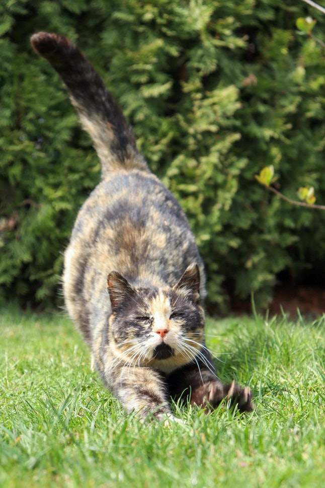 Brown and yellow colored cat stretching on grass