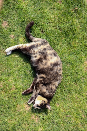 Pregnant cat laying on grass AM