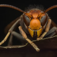 The Murder Hornets are here. Here's everything you need to know.