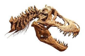 Skeleton of Tyrannosaurus rex ( T-rex ) on isolated background . ( Skull and Neck ) .