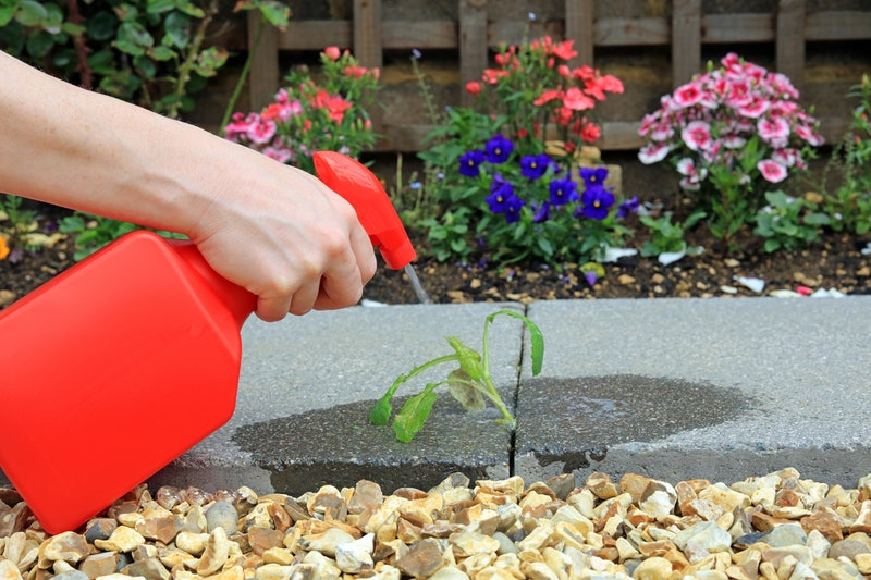 Hand Spraying Weed Killer On To A Weed Growing Between Paving Stones In A Garden.