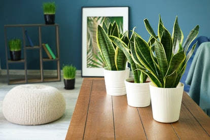 Sansevieria plants on table in modern room