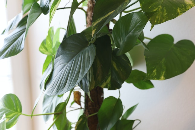 Philodendron in Pot on White Background