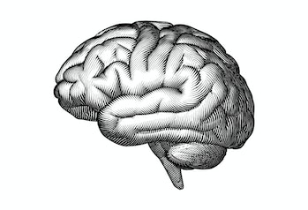 Monochrome engraved vintage drawing human brain in side view with woodcut print style illustration i...
