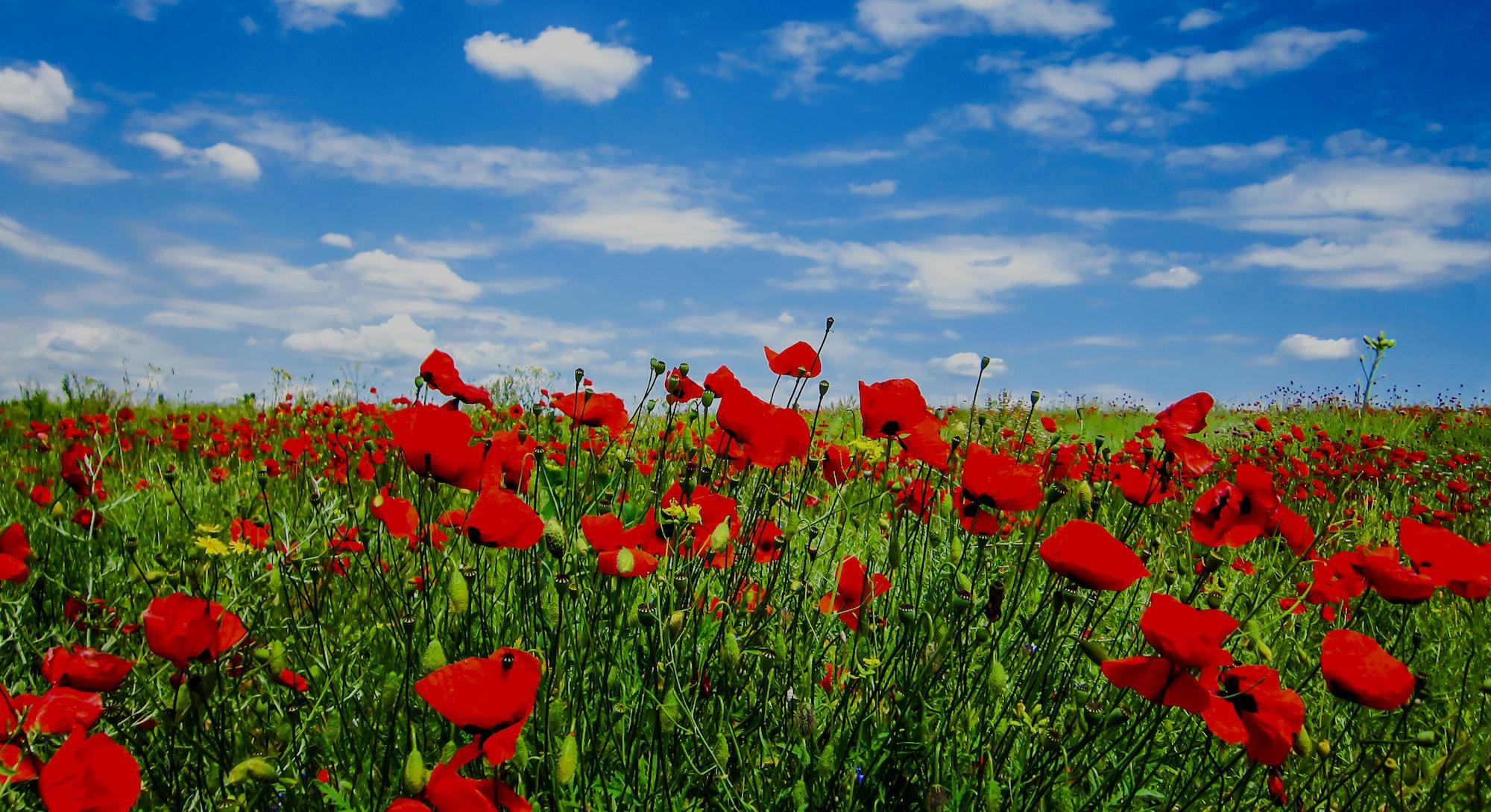 Summer scarlet poppy flowers field. Scarlet poppy flowers meadow. Summer scarlet poppies flowers meadow