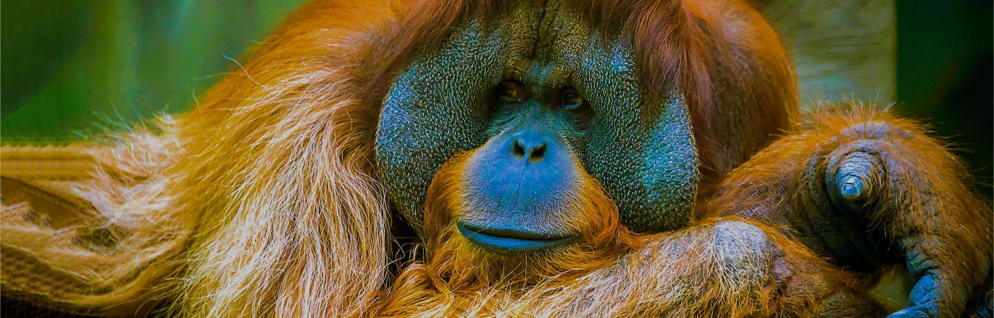 Orangutan portrait scene view. Orangutan in sadness