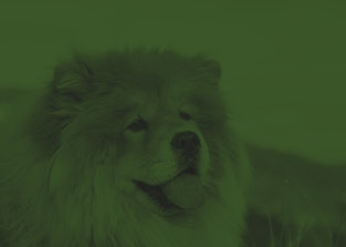 Beautiful dog chow-chow outside. Purebred dog chow chow on mountain over the canyon