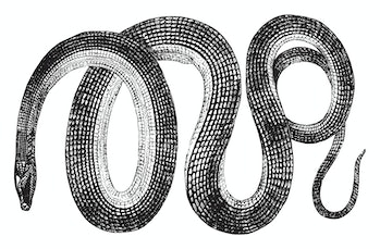 Glass snakes are a genus Ophisaurus of reptiles that resemble snakes, vintage line drawing or engrav...