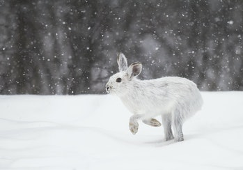 White snowshoe hare or Varying hare running in the falling snow in Canada