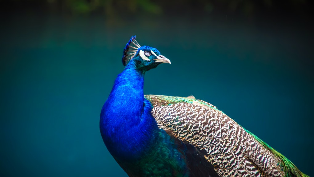 Beautiful peacock head. Portrait of beautiful peacock with feathers. Indian or blue peafowl. Peacock - peafowl with close tail,beautiful representative exemplar of male peacock in great metalic colors