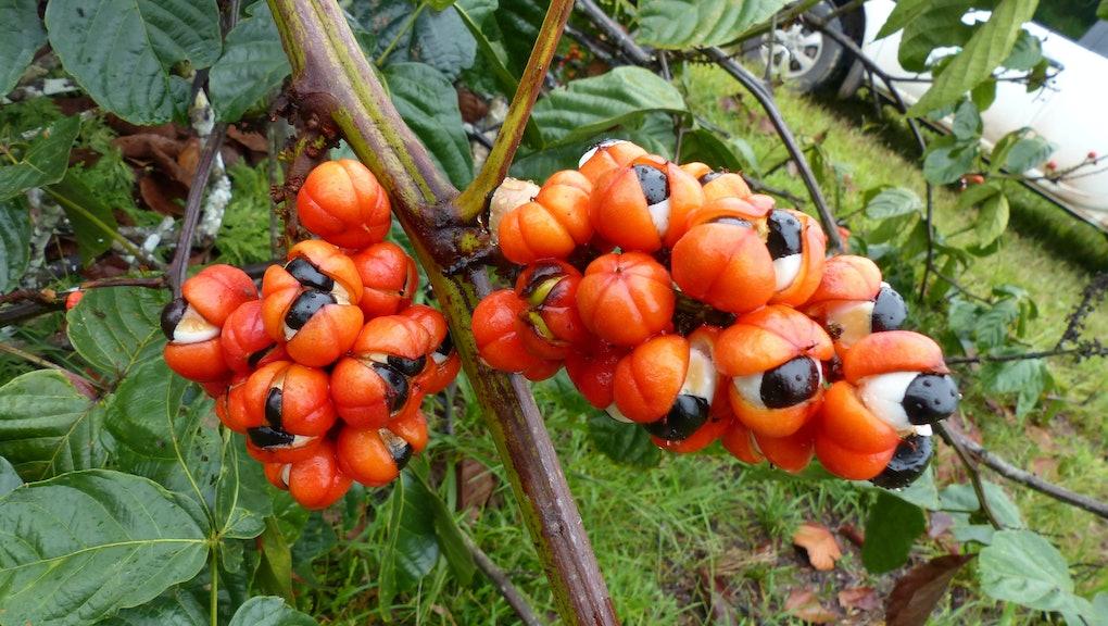 November 21, 2018. Guarana shrubs with fruits (Paullinia cupana). Location: Maués. Amazon, Brazil