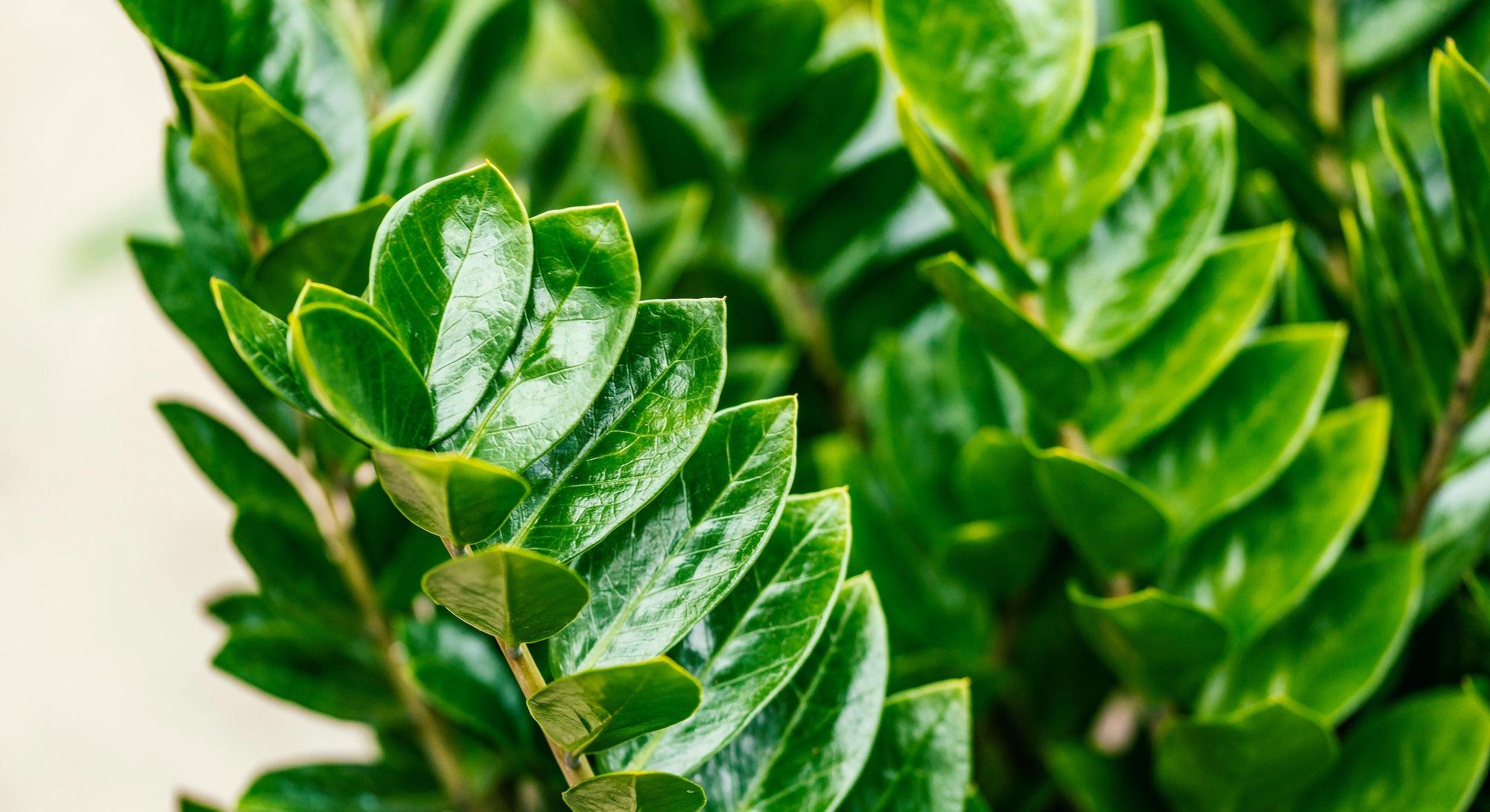 Zamioculcas zamiifolia. It's also known as Zanzibar gem, ZZ plant, Zuzu plant, aroid palm, eternity ...
