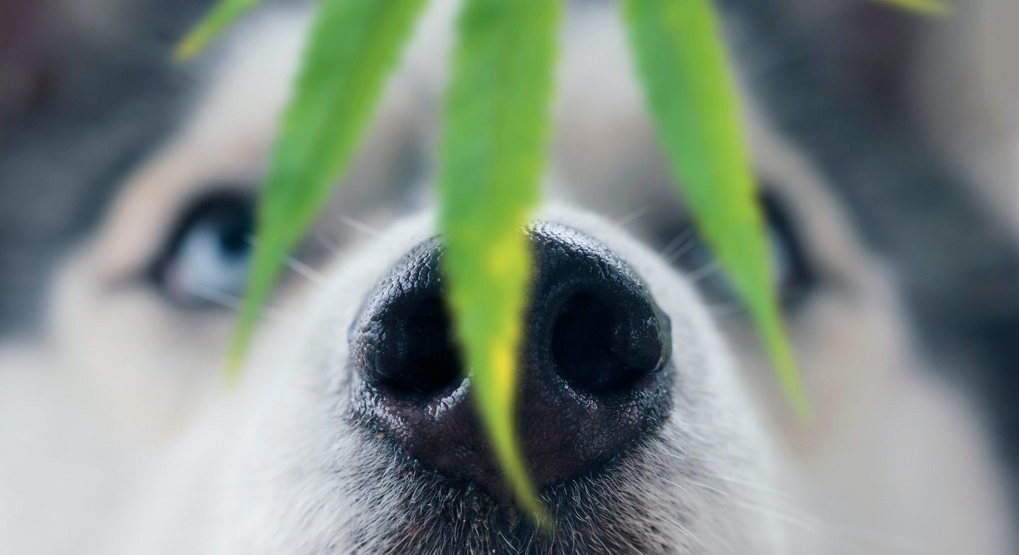 Husky dog sniffing a leaf of marijuana