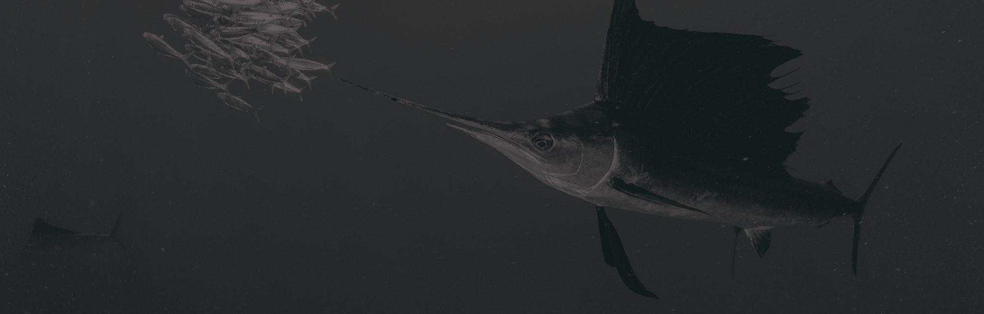 sailfish and fish ball