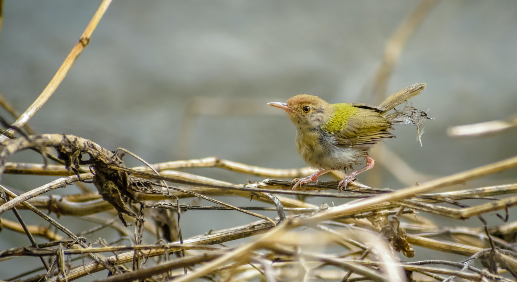 A matured common tailorbird feathers stuck to its back after defecation