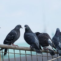 Pigeons use unexpected super sense to find home