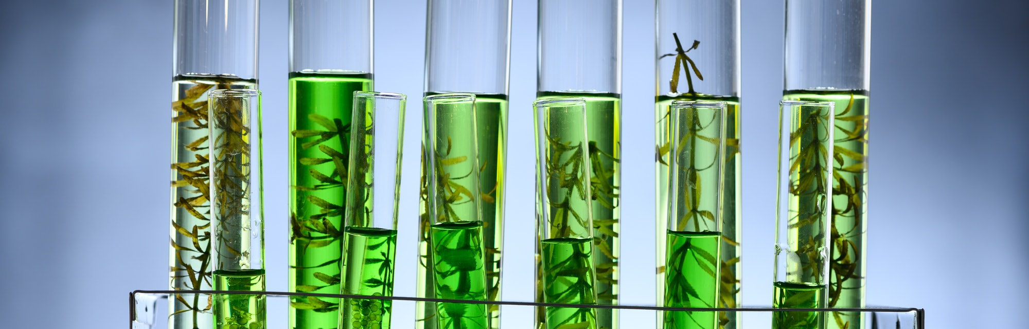 algae biofuel tube in biotech laboratory, Photobioreactor in lab algae fuel biofuel industry