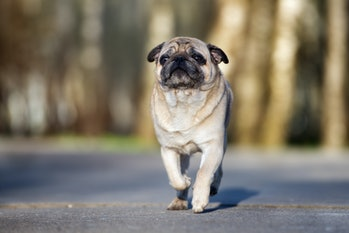 adorable pug dog walking in the park