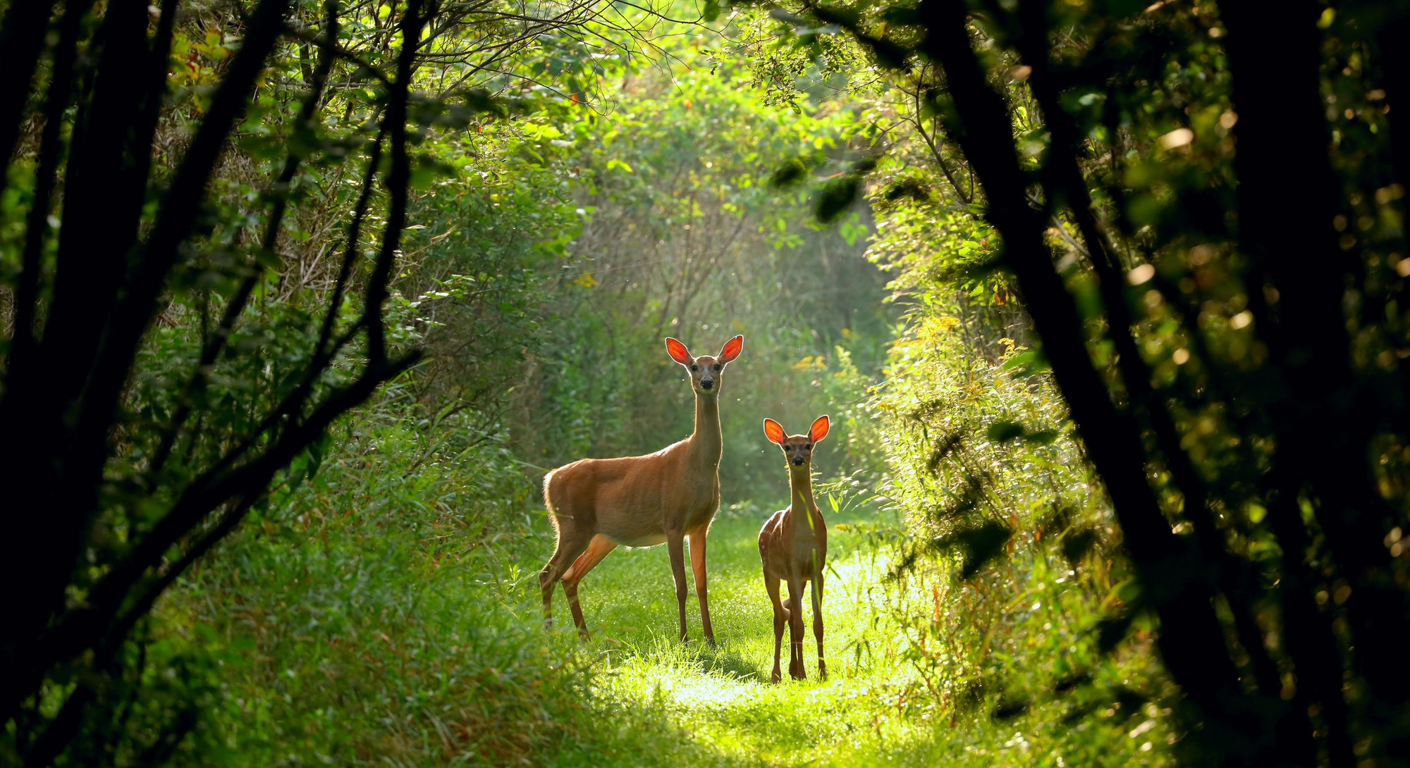 White-tailed deer(Odocoileus virginianus), Virginia deer - hind with fawn on a forest path at dawn,north America,Wisconsin,whitetail