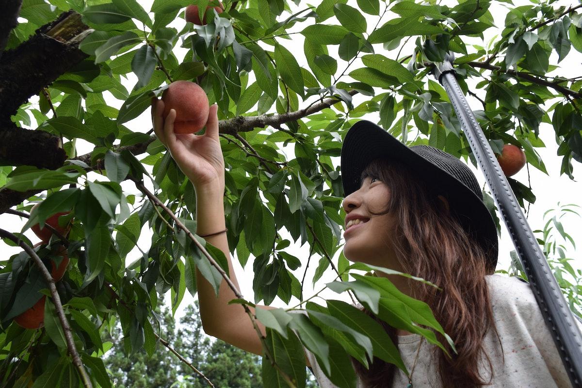 A happy woman reaches up to pick a peach at a peach farm.