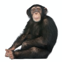 How chimpanzees helped African rainforests recover from collapse