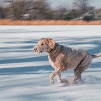 Dog genome study finds surprising truth about labradoodles