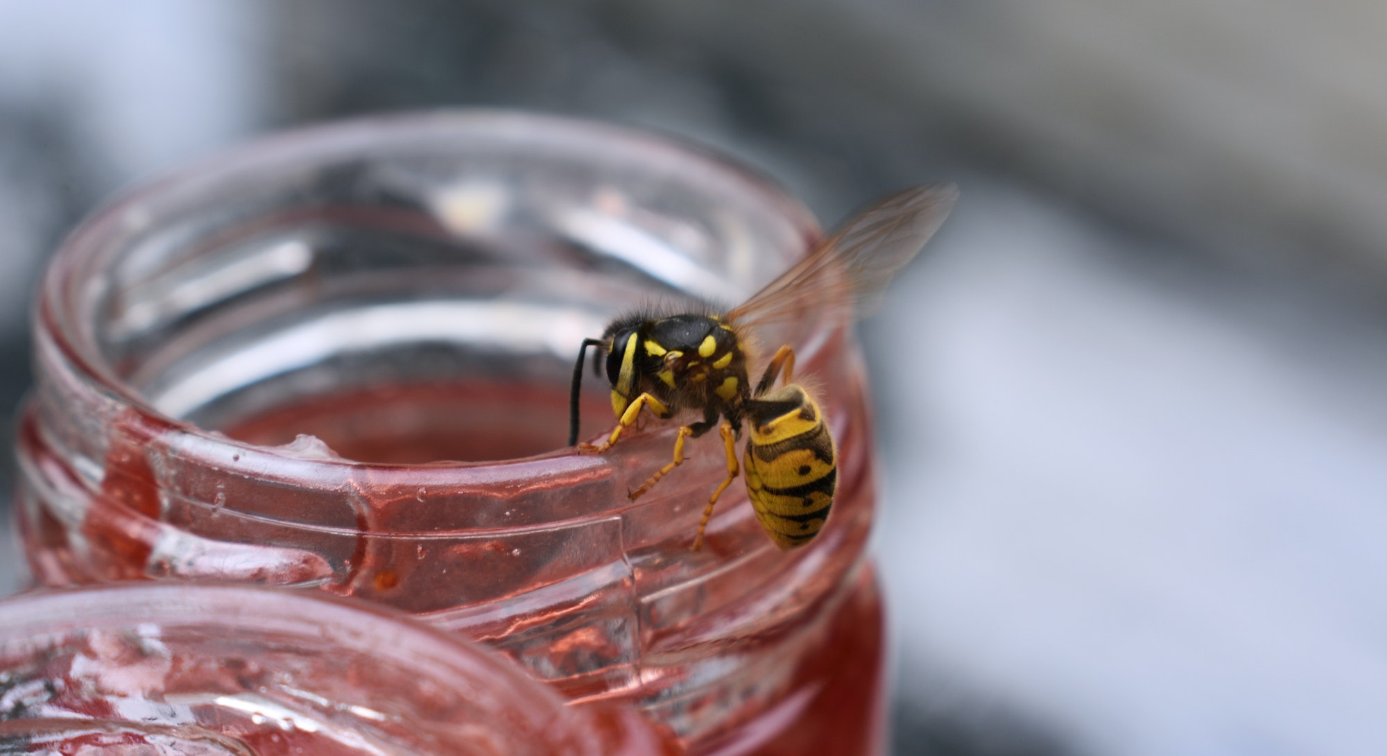 Wasp eating jam