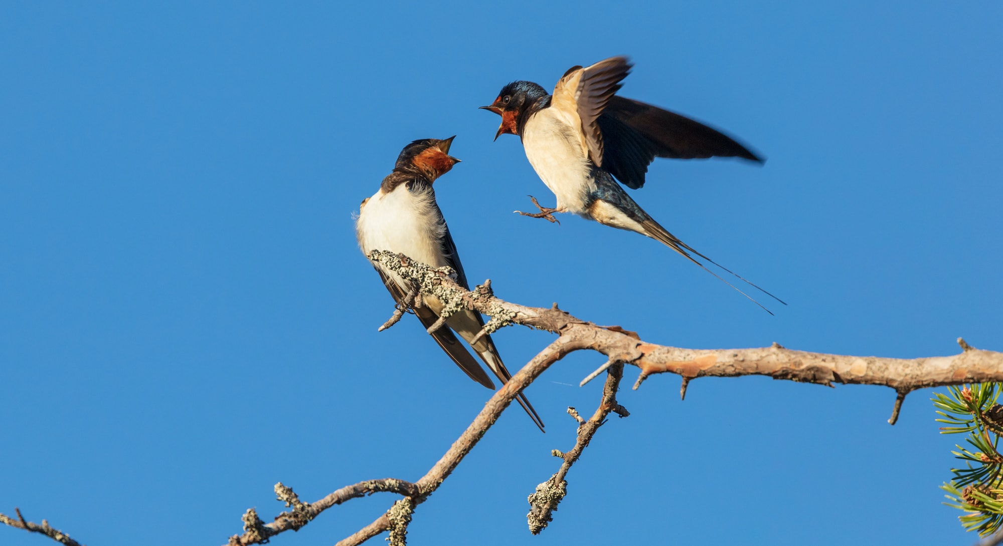 Barn swallow (Hirundo rustica) couple in courtship display.