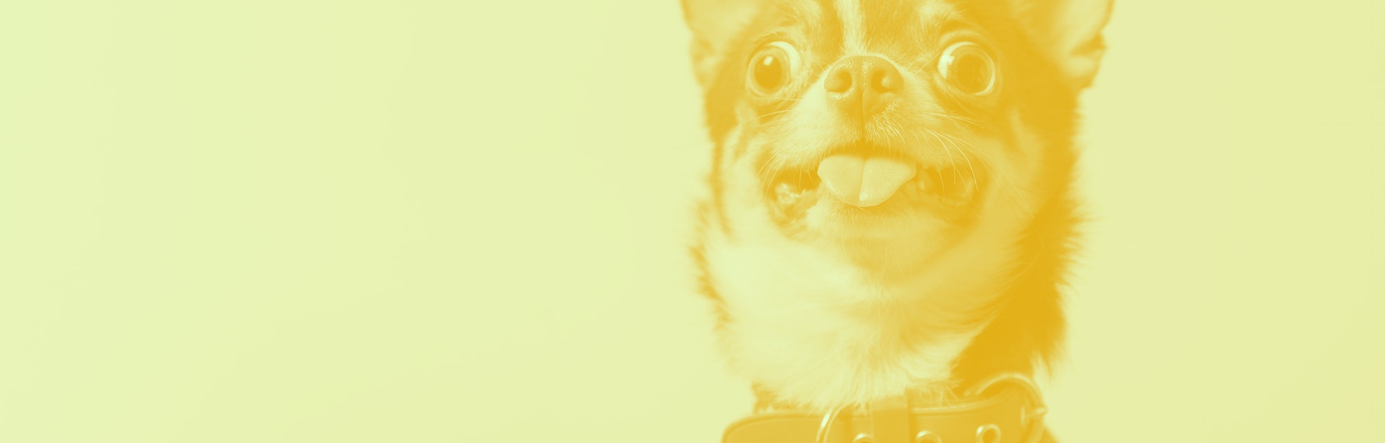 Cute brown mexican chihuahua dog with tongue out isolated on pink background. Dog looking to camera. Red collar. Copy Space