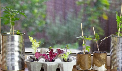 close up of seedlings growing in reuse tin cans, egg box and toilet roll tubes on window ledge, rais...