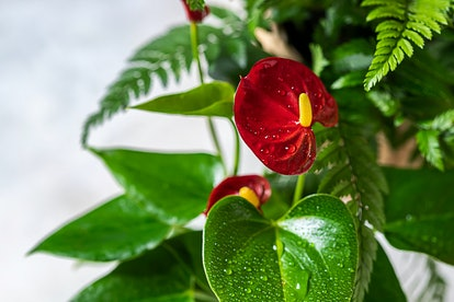 Scorpios should opt for an Anthurium.
