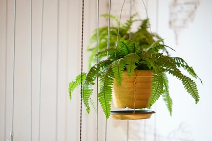 Boston Ferns are an excellent choice for Libras.