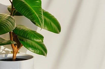 A Ficus Elastica is ideal for Saggitarians.