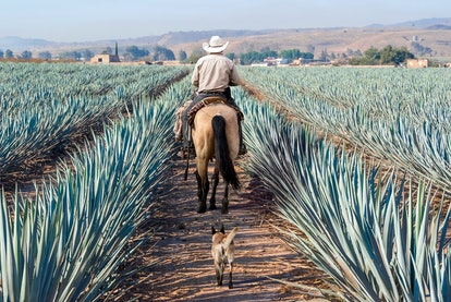 Agave landscape, Tequila, Jalisco, Mexico.