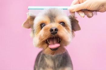 Dog gets hair cut at grooming salon.
