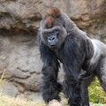 Male Silverback Western Lowland gorilla (Gorilla gorilla gorilla) standing